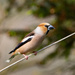 Hawfinch by lifeat60degrees