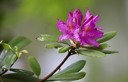 23rd May 2021 - Rhododendron