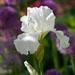 White Iris by falcon11