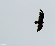 23rd May 2021 - Turkey vulture