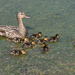 Mum with Ducklings by sprphotos