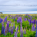 Lupins by cdcook48