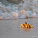 Crab at sunrise by ingrid01