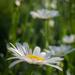 The oxeye daisy