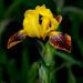 Wild irises  by dridsdale