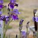 White-Tipped Iris