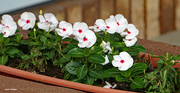 24th May 2021 - Impatiens