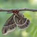 Cecropia moth by fayefaye