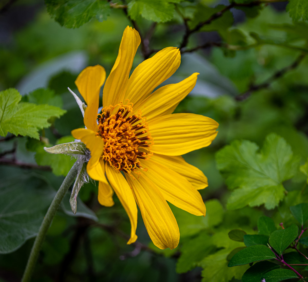 West Shore Arnica by 365karly1