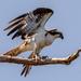 Osprey on the Takeoff! by rickster549