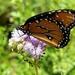 Monarch Butterfly by harbie