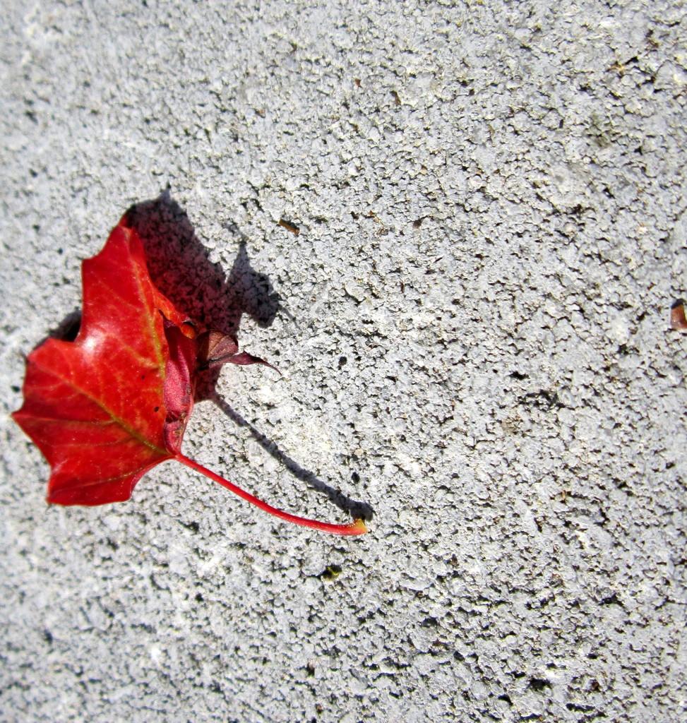 Already a red leaf  by bruni