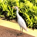 Cattle Egret on Kauai, Hawaii by markandlinda