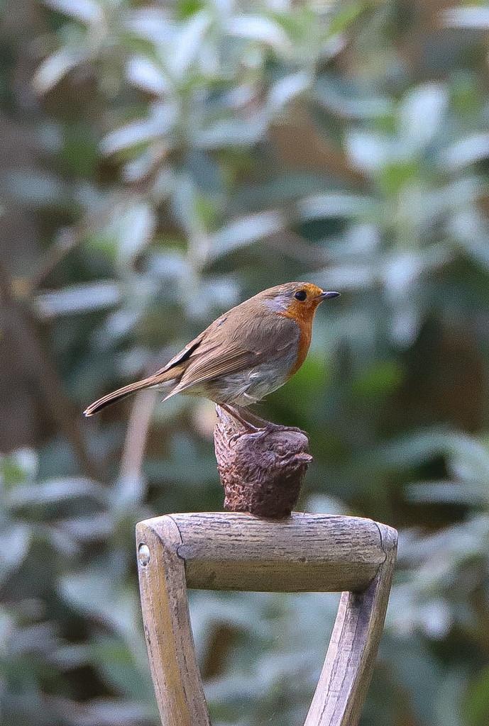 Garden Robin  by phil_sandford