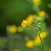 The meadow buttercup