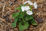 25th May 2021 - White geranium