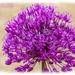 Allium by carolmw