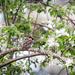 Sparrow in an apple tree