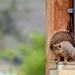 Power Pole Squirrel
