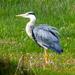 Grey Heron at Cley Marshes