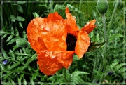 27th May 2021 - My big blousy orange poppy