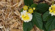 26th May 2021 - White and yellow lantana