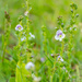 The thyme-leaved speedwell