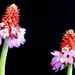 Primula Viali by phil_sandford