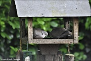 27th May 2021 - The doves enjoying a feast