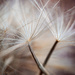 Dandelion macro by jeffjones