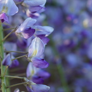 27th May 2021 - wisteria and bokeh