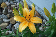 27th May 2021 - Day Lily