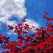 Red leaves and blue sky by ljmanning