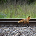 The Fox by the Tracks