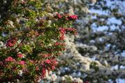 28th May 2021 - Pink and White May