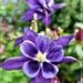 Purple Aquilegia by beryl