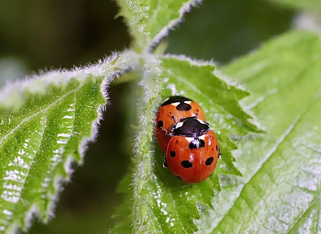 Friendly Ladybugs by carole_sandford