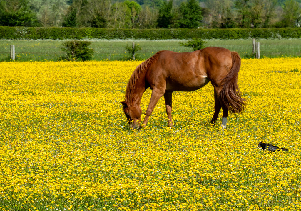 Amongst the buttercups..... by susie1205