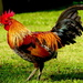 Jungle Fowl by redy4et