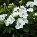 Hawthorn blossom by snowy