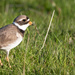Ringed Plover by lifeat60degrees