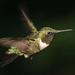 Male Ruby-throated Hummingbird by radiogirl