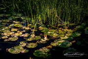 25th May 2021 - Morning Sun on Lily Pads