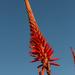 Aloe by mv_wolfie