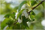 29th May 2021 - blossom and bokeh
