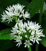 29th May 2021 - Wild Garlic