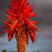 Hello Aloe by seacreature