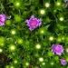 Stokesia  starry plant night