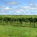 The Heart of Arkansas Vineyards
