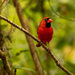 Mr Cardinal Was Posing Nicely! by rickster549